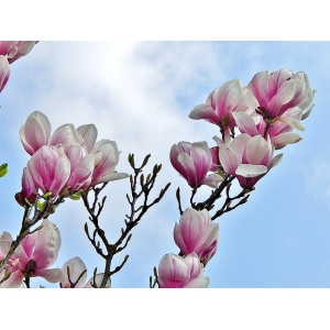 magnolia-3261086_640